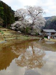 【桜・見ごろ】苗代桜