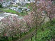 【桜・見ごろ】八多喜祇園公園