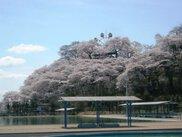【桜・見ごろ】千手山公園