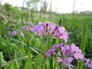 みちのく自然共生園 野辺に咲く花野まつり~宮沢賢治が愛したオキナグサとサクラソウが咲く春の草原~