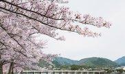 嵐山 桜祭り