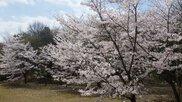 第2回 花緑公園桜まつり