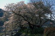 【桜・見ごろ】お吉ヶ淵