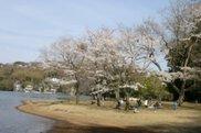 【桜・見ごろ】一碧湖