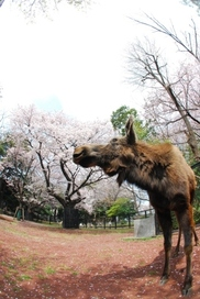 【桜・見ごろ】夢見ヶ崎動物公園