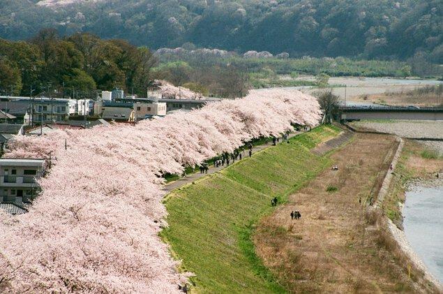 多摩川堤防沿いの桜