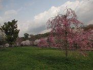 【桜・見ごろ】山田池公園