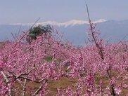 浅間園 桃の花まつり2018