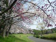 【桜・見ごろ】大泉緑地