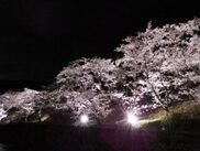 山中渓の桜並木 ライトアップ