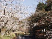 【桜・見ごろ】岩屋堂公園