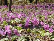春の十二ヶ岳カタクリ登山