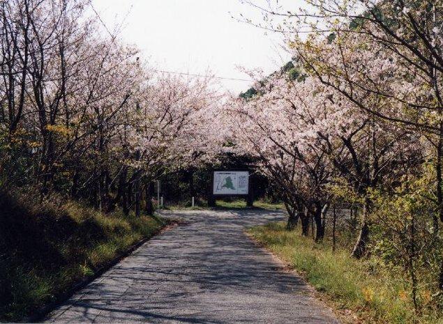 遠見山森林公園の桜