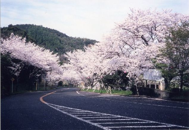 津峯公園の桜