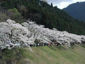秋葉ダム千本桜