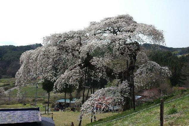 外大野のしだれ桜の桜