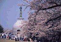 秋葉公園の桜