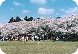 【桜・見頃】三神峯公園