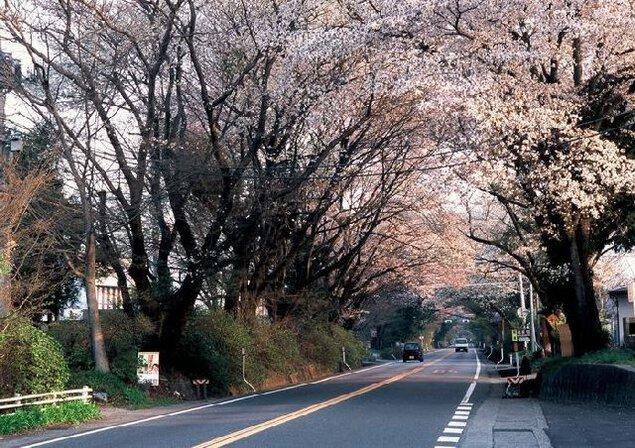 日光街道桜並木の桜