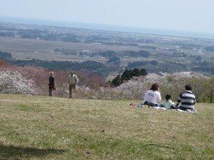 【桜・見頃】県立自然公園旭山