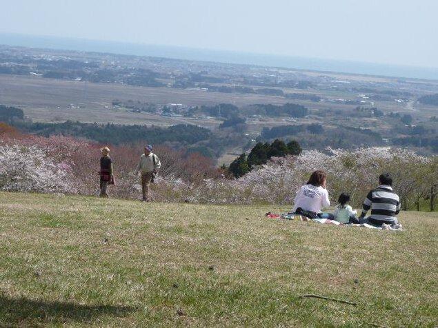 県立自然公園旭山の桜