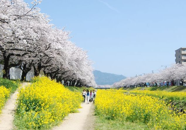 佐奈川堤の桜