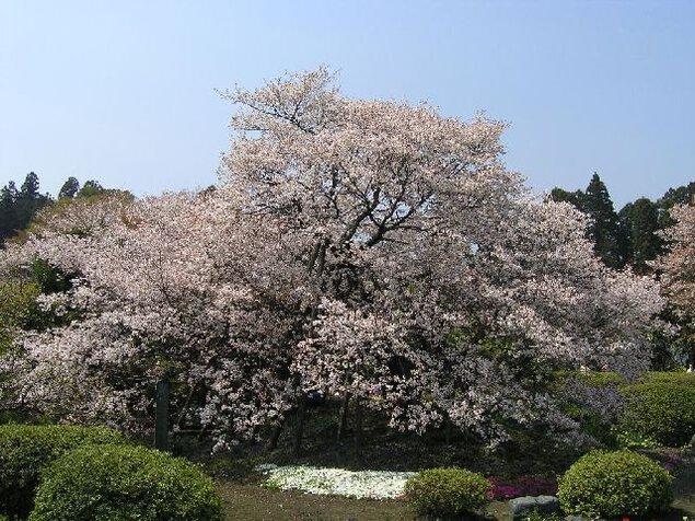 狩宿の下馬桜の桜
