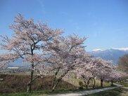 鵜山の桜並木