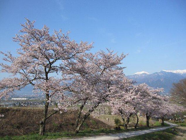 鵜山の桜並木の桜
