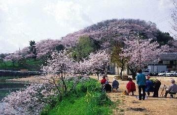 【桜・見頃】三室山