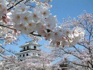 【桜・見頃】益岡公園