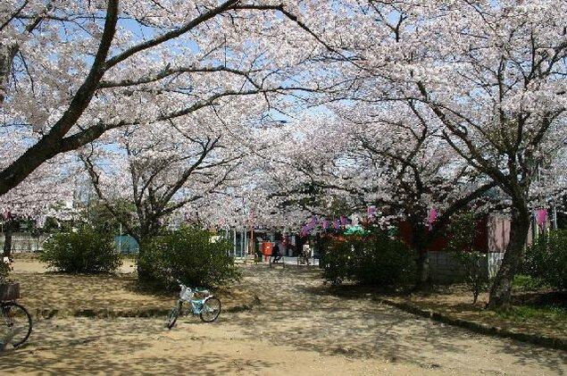佐原公園(諏訪公園)の桜