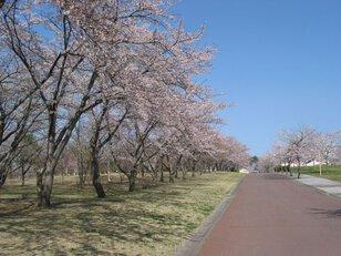 【桜・見頃】八戸公園