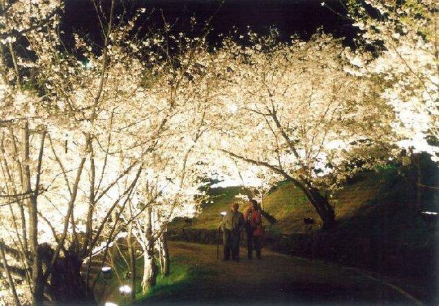 県立桃陵公園の桜