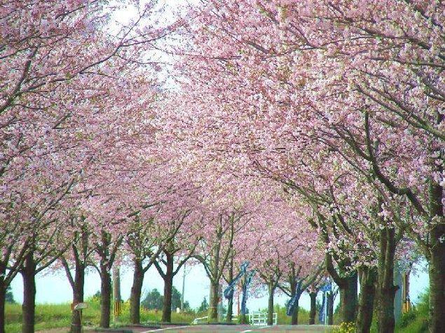 垂水公園の桜