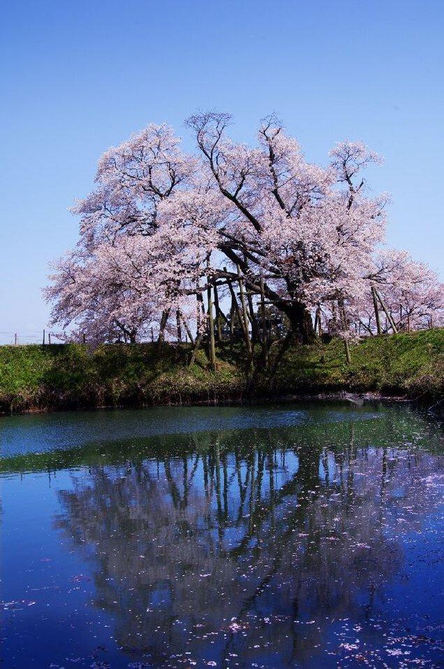 浅井の一本桜の桜