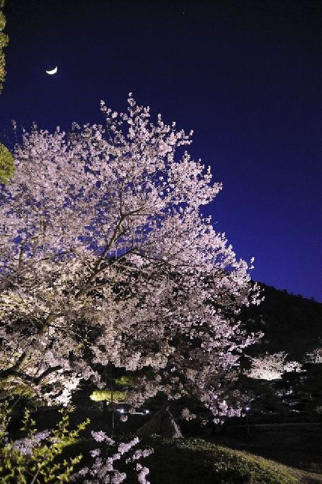 特別名勝 栗林公園の桜