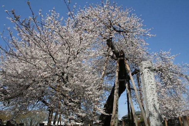 石戸蒲ザクラの桜