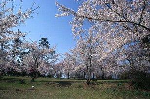 【桜・見頃】一本松公園