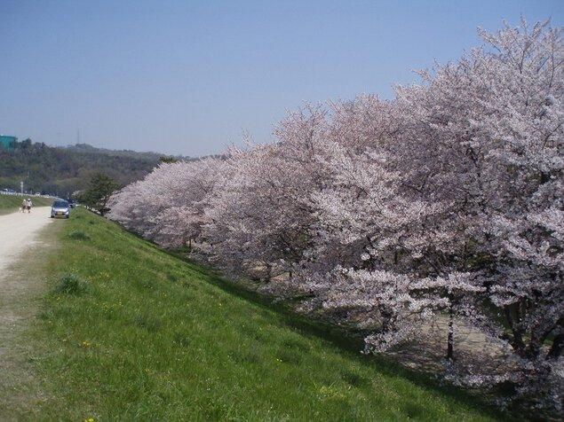 酒津公園の桜