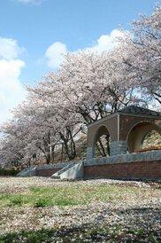 【桜・見頃】甚六桜