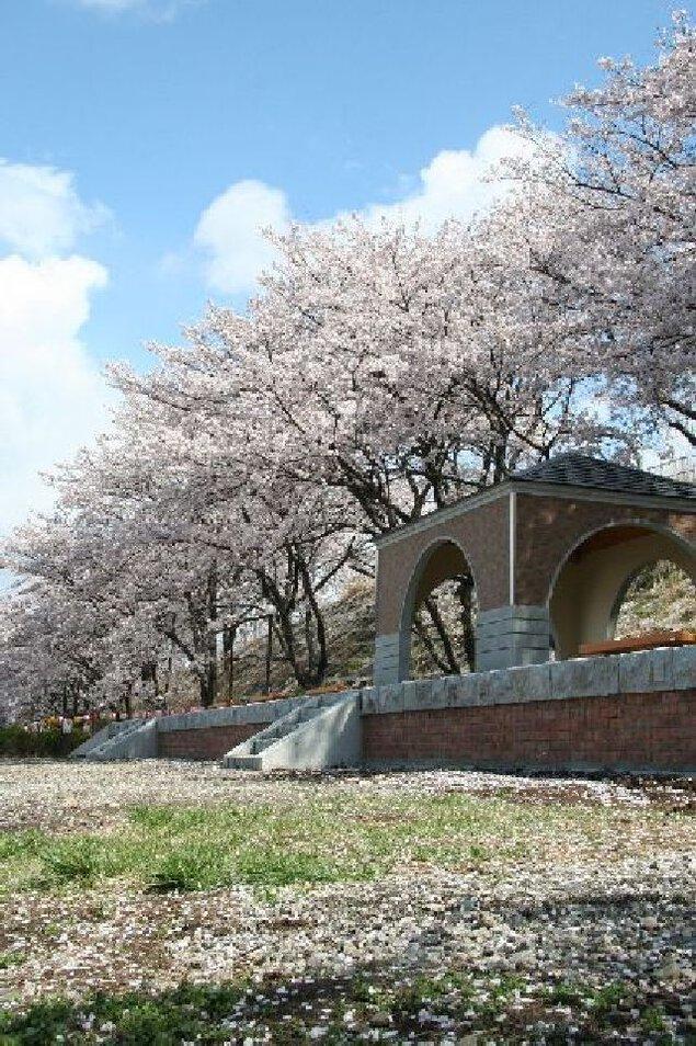 甚六桜の桜