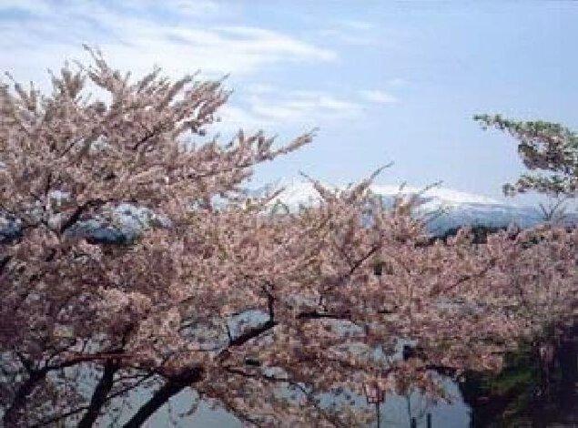 勢至公園の桜