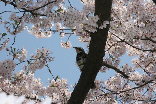【桜・見頃】善福寺川緑地・和田堀公園