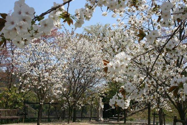 みやま公園の桜
