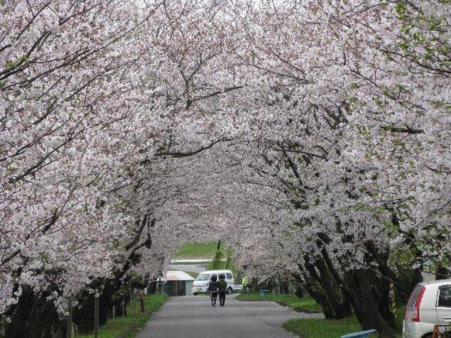 岩脇さくらづつみ公園の桜