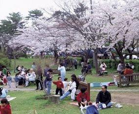 能代公園の桜