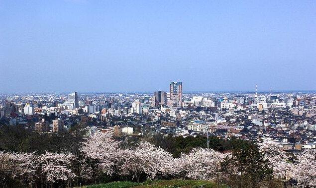 卯辰山公園の桜