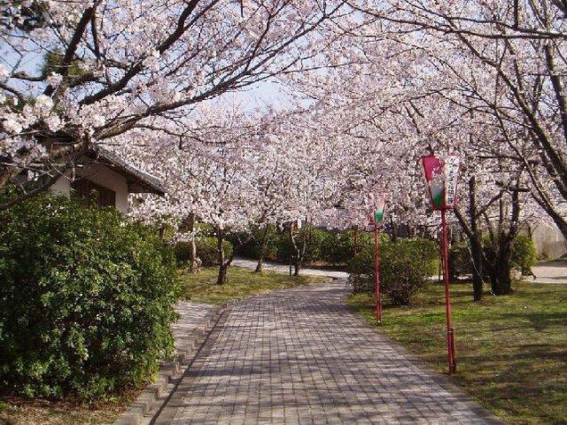 名和公園の桜