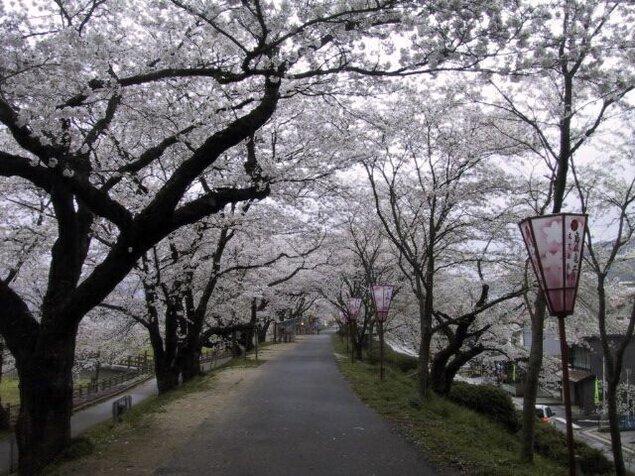 斐伊川堤防桜並木の桜